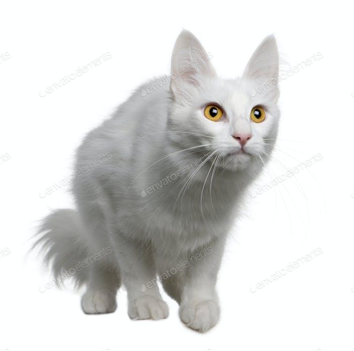Turkish Angora (18 months old)