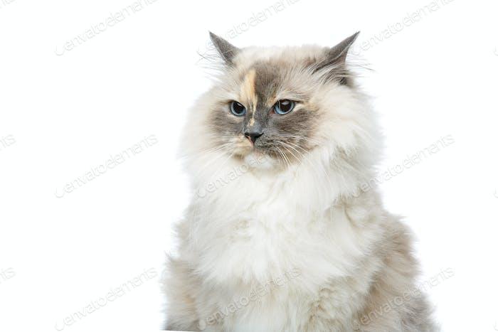 schöne Birma Katze isoliert auf weiß