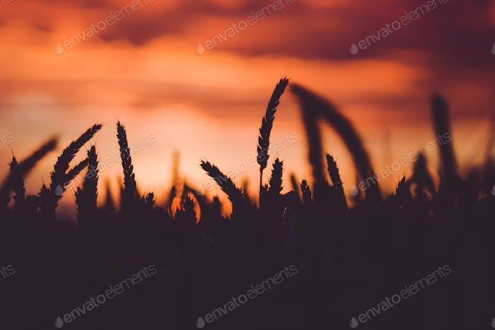 Dramatisch Himmel während des Sonnenuntergangs mit Silhouette der Weizenohren vor. Rücklicht