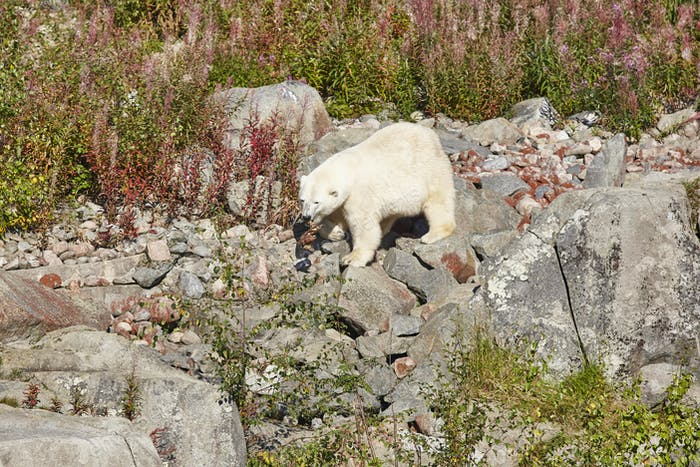 Female polar bear on the wilderness. Wild nature environment. Horizontal
