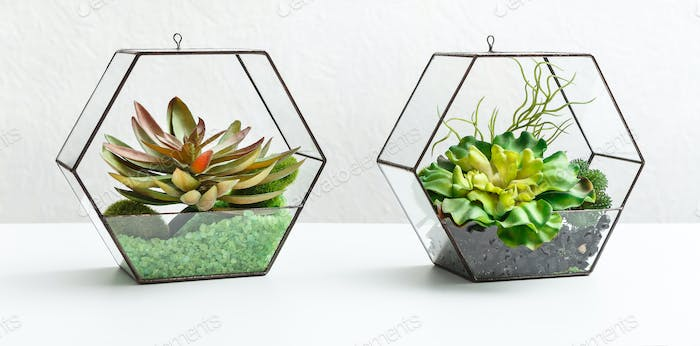 Succulent plants in two florariums