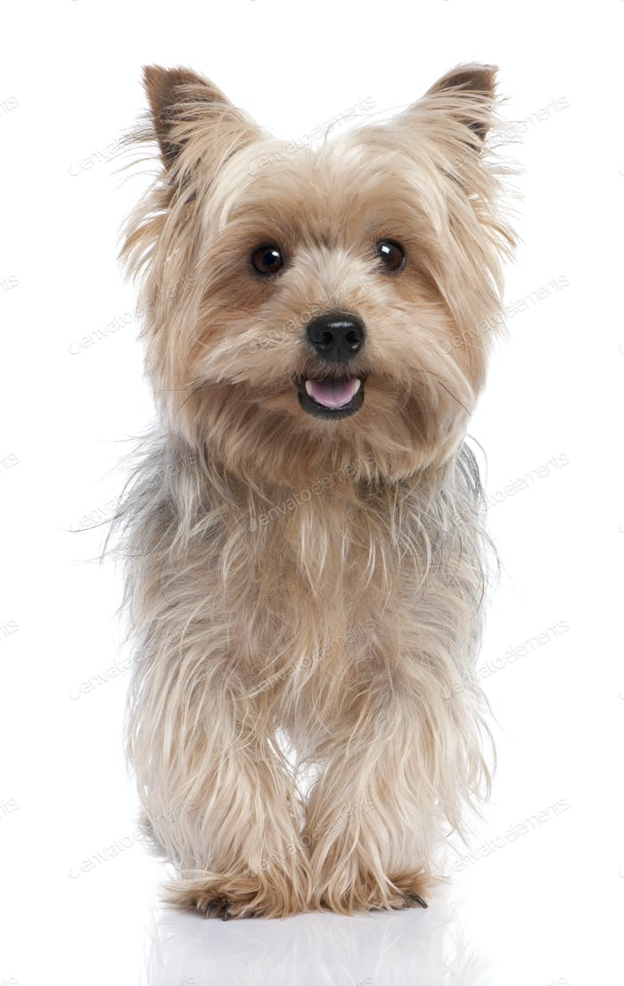 alert Yorkshire Terrier (3 years old)