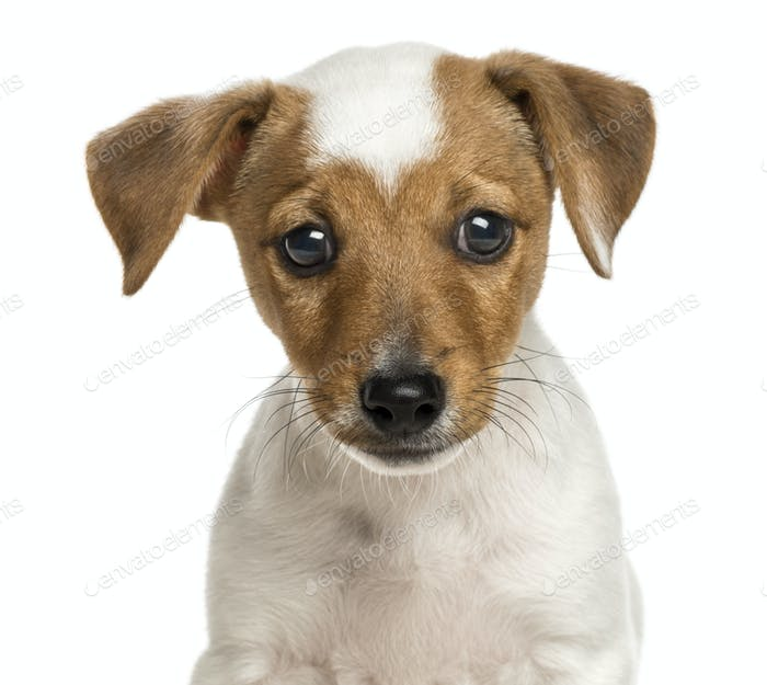 Close-up of a Jack Russell Terrier puppy, 2 months old, isolated on white