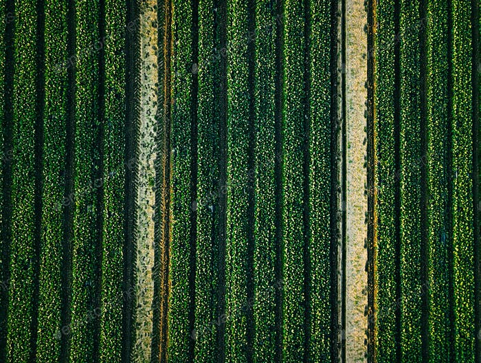 Thumbnail for Aerial view of cabbage rows field in agricultural landscape