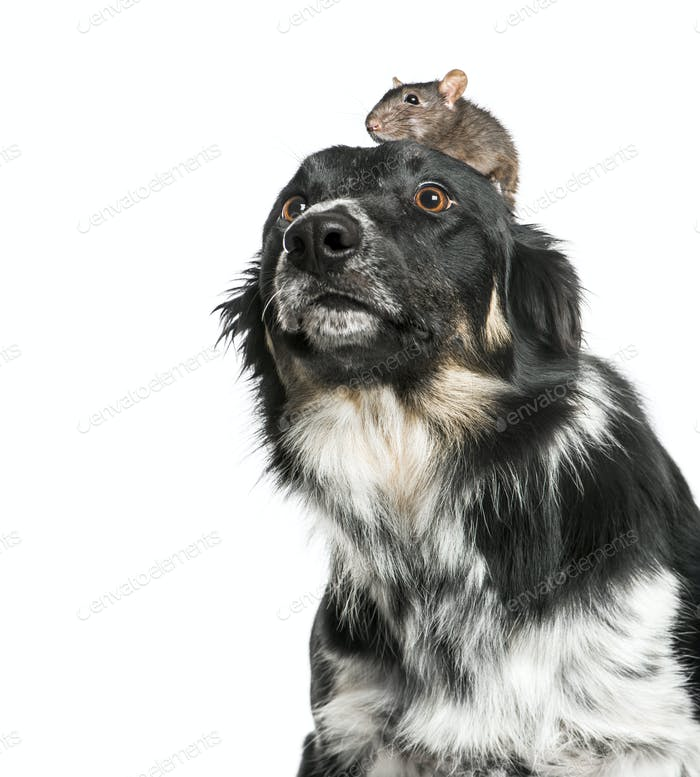 Rat on the head of a border collie, isolated on white