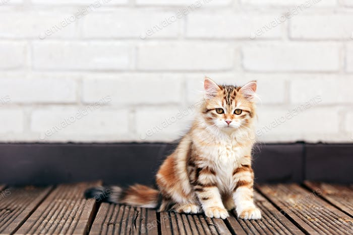 A kitten - Siberian cat sitting on wooden terrace, looking at the camera