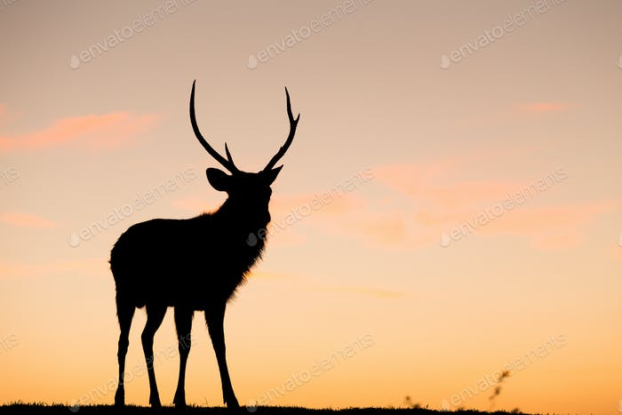 Wild Deer Stag with sunset