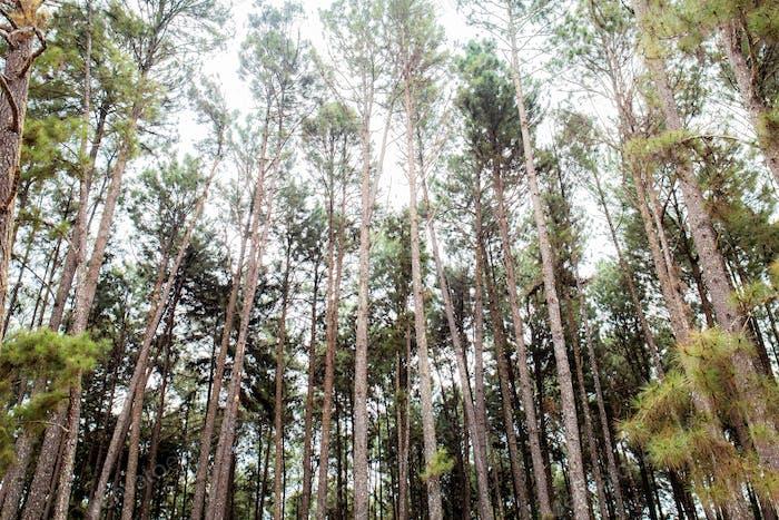 Pine tree at sky