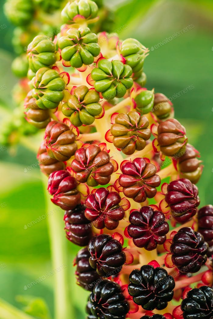Phytolacca Americana, The American Pokeweed Or Simply Pokeweed W