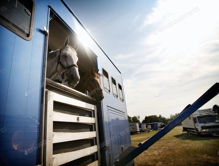 Pferde im Anhänger auf Feld