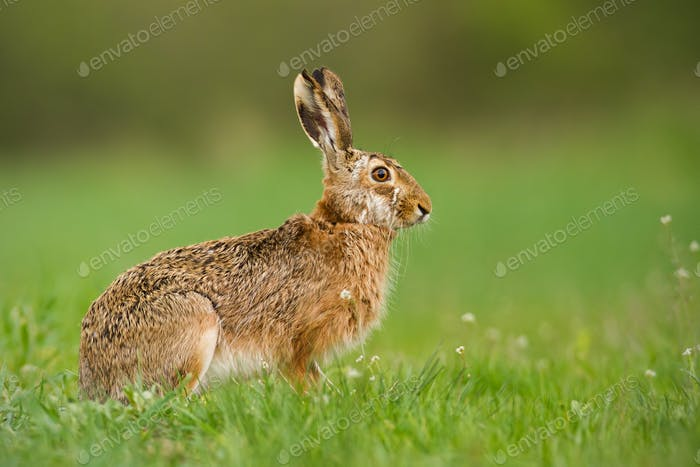 European hare in spring with fresh looking green blurred background