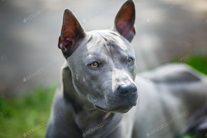 thai ridgeback Hund im freien