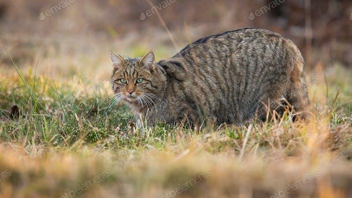 European wildcat sneaking on grassland in spring nature
