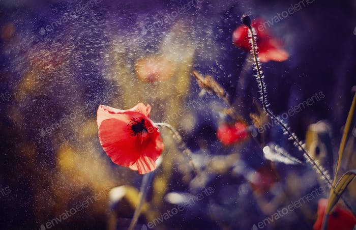 Red Poppy on Violet tone background with bokeh