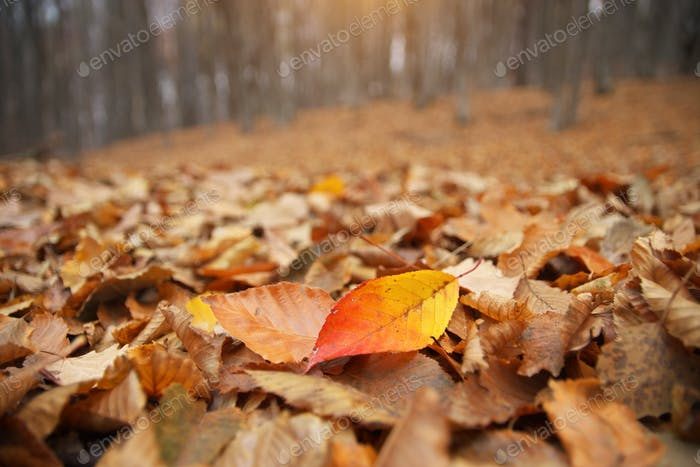 Autumn leaves on the forest ground