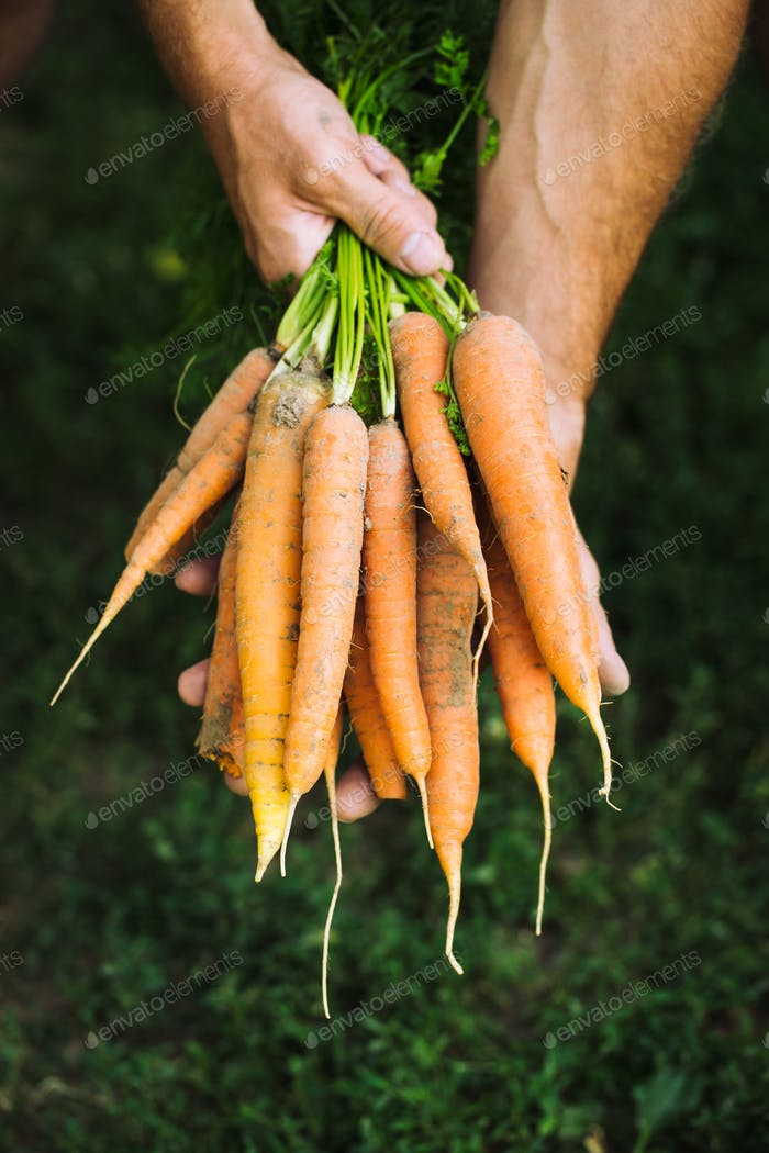 Fresh carrots. Organic vegetables. Healthy food. Carrots in farmers hands