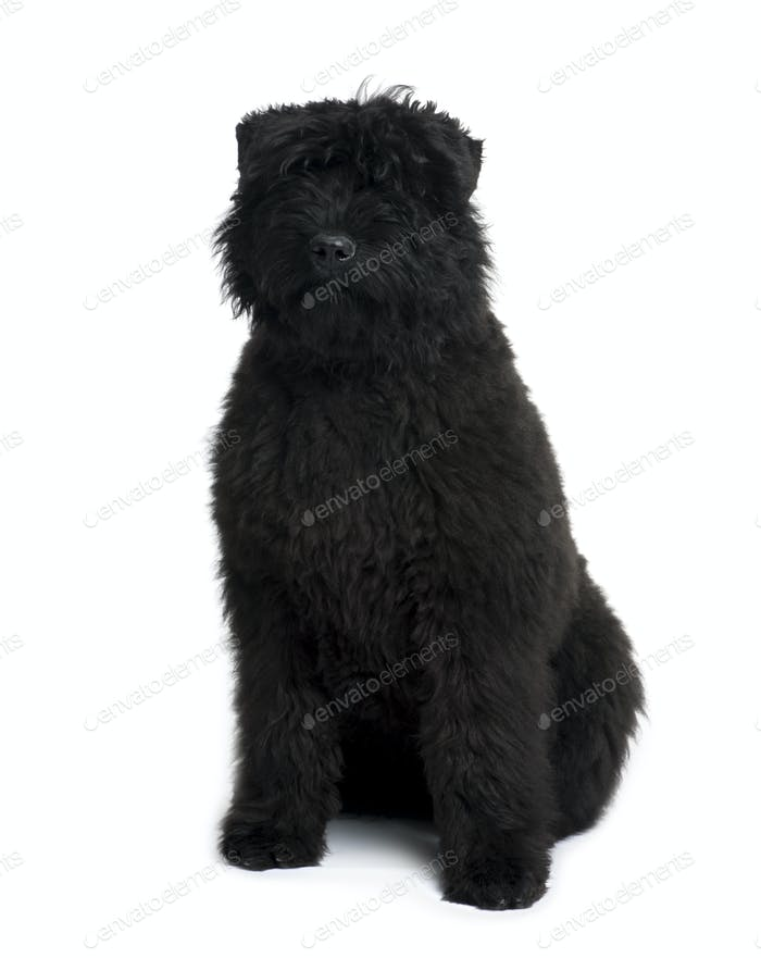 Bouvier des Flandres, 5 months old, sitting in front of white background