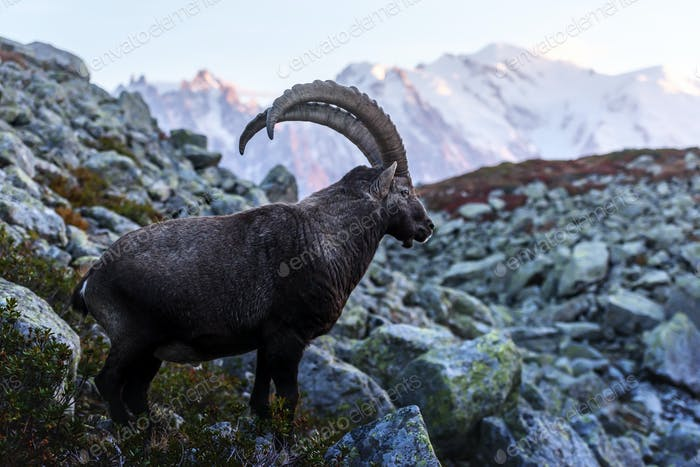 Alpine Carpa Ibex in the France Alps