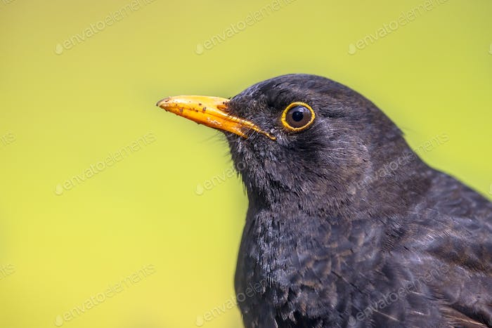 Portrait of male Blackbird