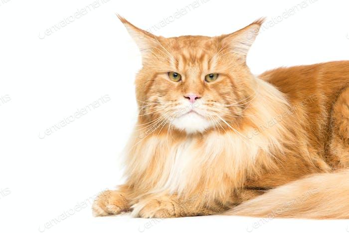 Schöne Maine Coon Katze