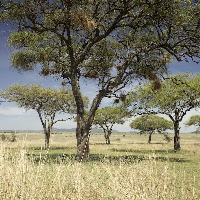 Horizontal del Serengeti