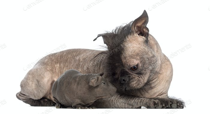 Hairless Mixed-breed dog, mix between a French bulldog and a Chinese crested dog