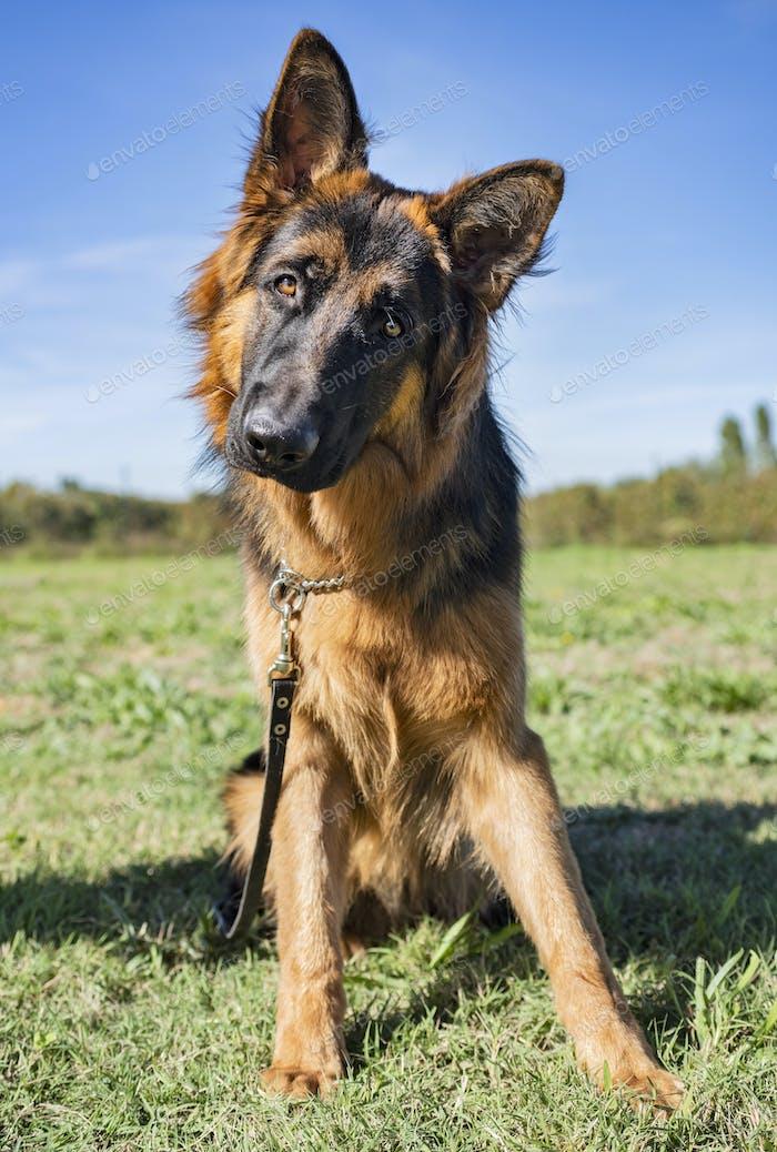german shepherd in obedience