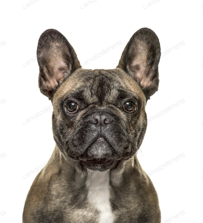 Close-up of a french bulldog looking at the camera , isolated on white