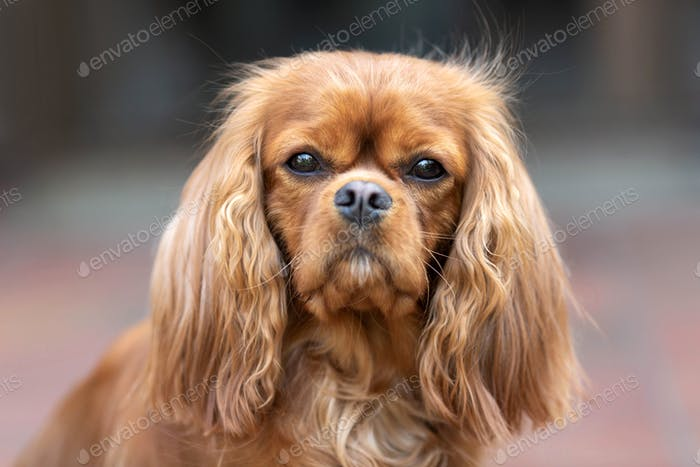 Portrait of happy dog - cavalier spaniel