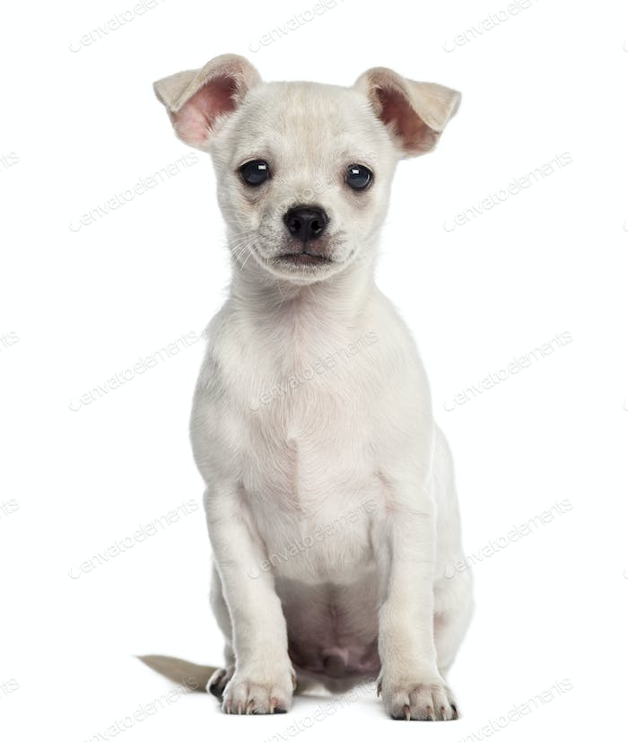 Chihuahua puppy sitting (2 months old)