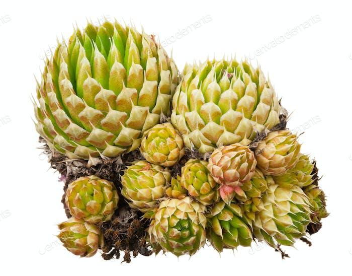 Heilpflanze: Orostachys spinosa
