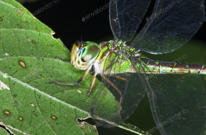Dragonfly Resting on a Leaf at Night in Costa Rica