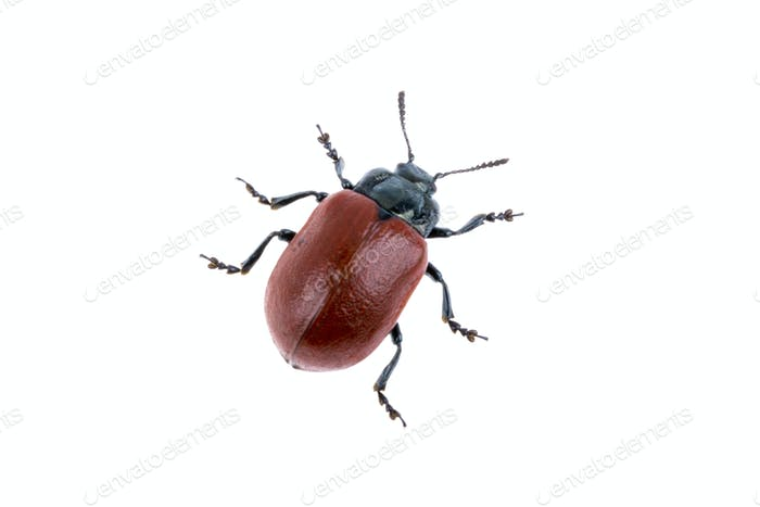 Red beetle on white background