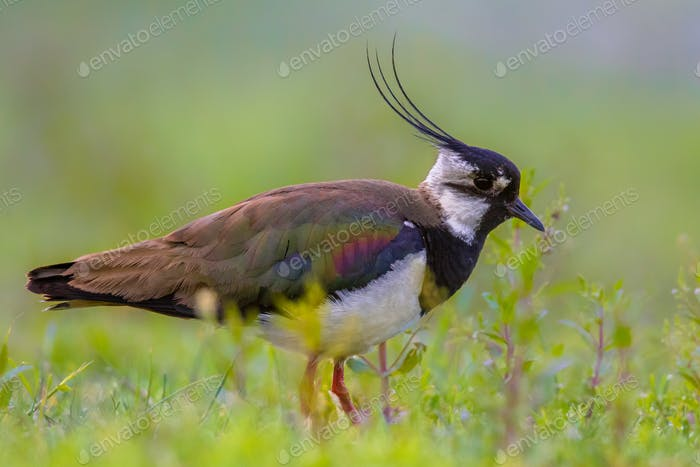 Male Northern lapwing in marshland habitat with vivid green back