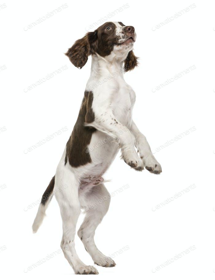 English Springer Spaniel standing on hind legs against white background