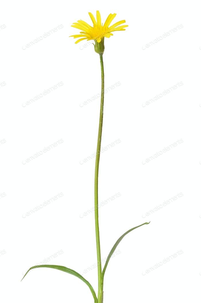 Leontodon autumnalis flower