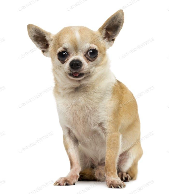 Chihuahua sitzend, die Zunge herausstreckt, isoliert auf weiß
