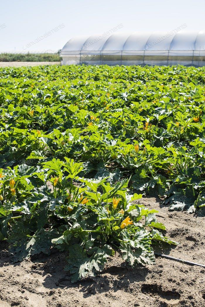 Zucchini on rows in industrial farm.