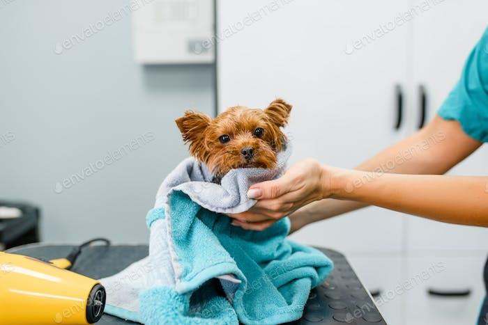 Weibliche Groomer Tücher niedlichen kleinen Hund mit einem Handtuch