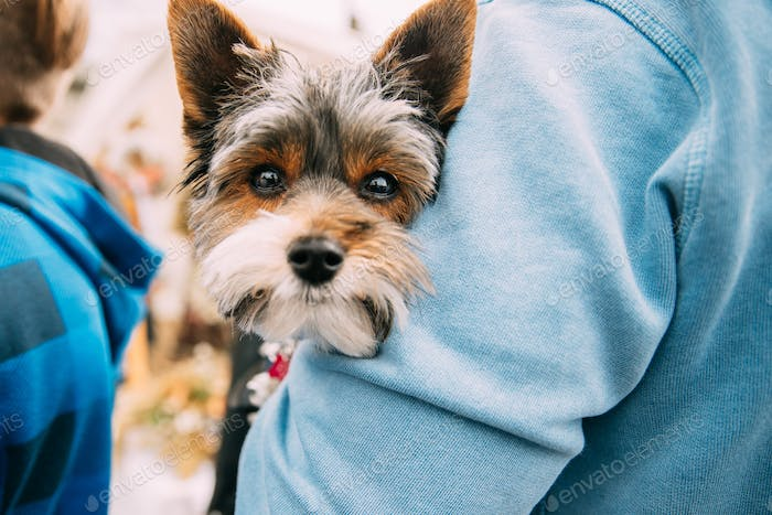 Man Holding In Hands Small Funny Cute Yorkshire Terrier Dog. Cur