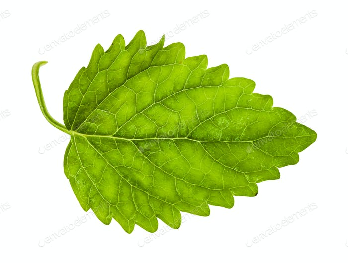 green leaf of lemon balm herb isolated