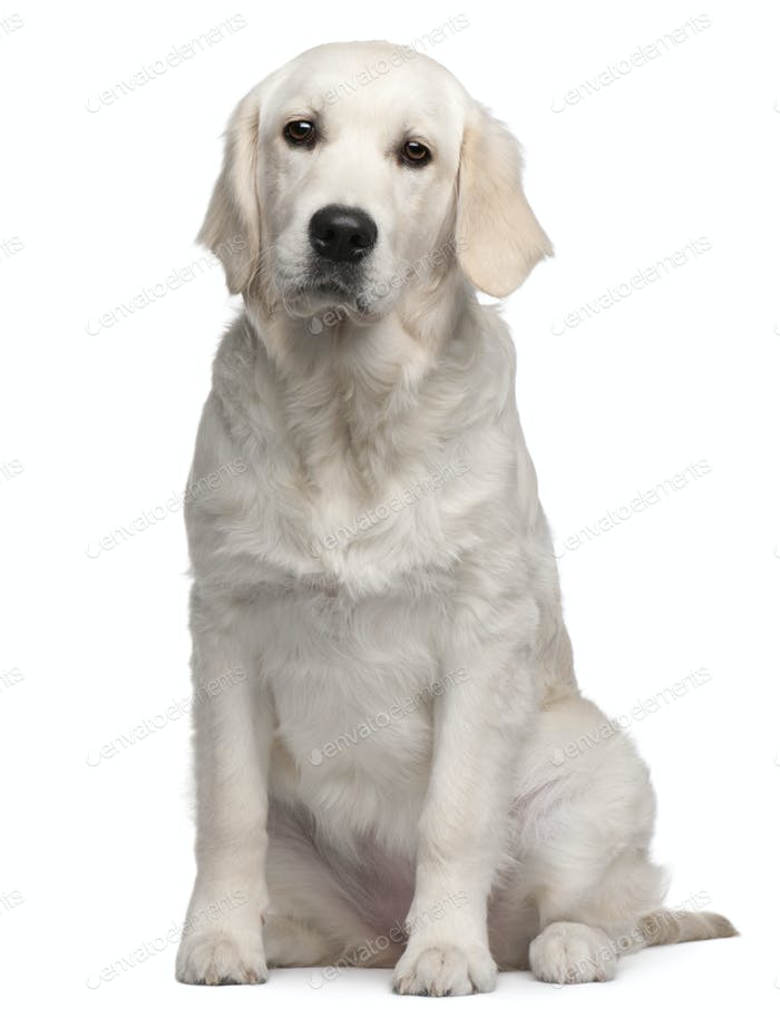 Labrador Retriever puppy, 6 months old, sitting in front of white background