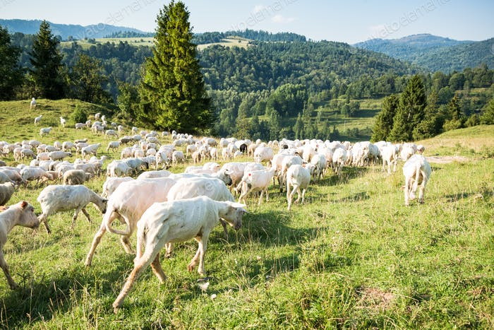 Traditional sheep pasture in Polish Pieniny mountains range