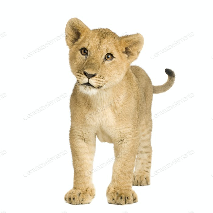 Lion Cub (5 months)