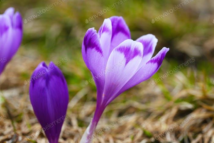 Purple crocus flowers in snow awakening in spring