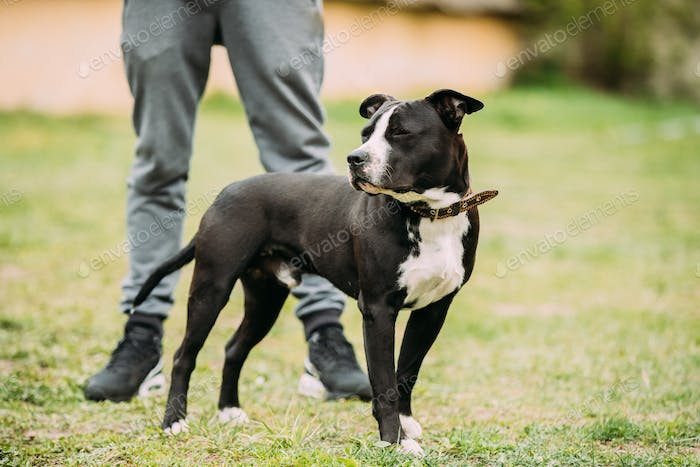 Young American Staffordshire Terrier Dog Standing Near Man In Gr