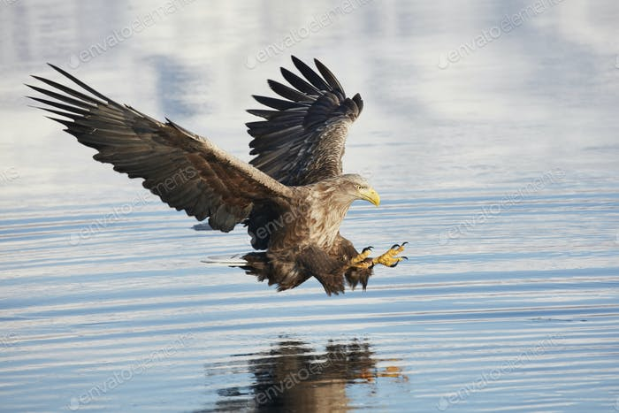 White-Tailed Eagle (Haliaeetus albicilla) hunting above water, winter.