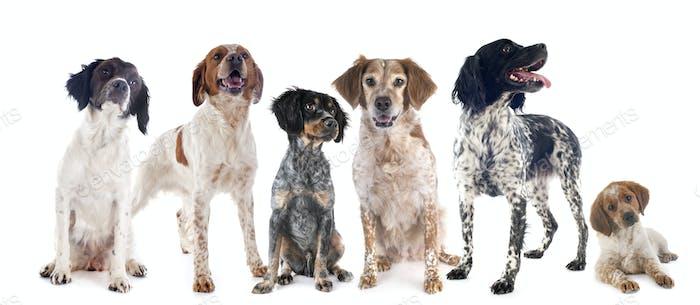 brittany dogs in studio