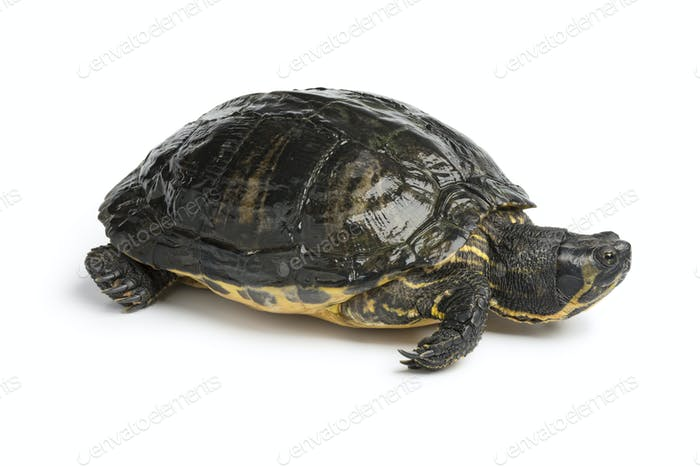 Single water turtle