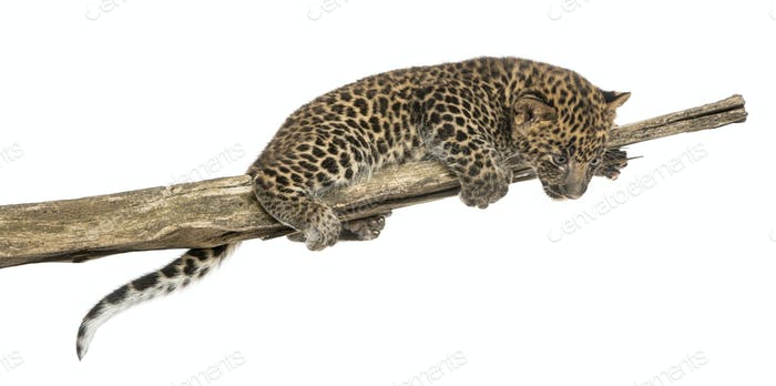 Spotted Leopard cub on a branch looking down, 7 weeks old, isolated on white